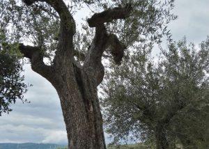 ulivo secolare-2