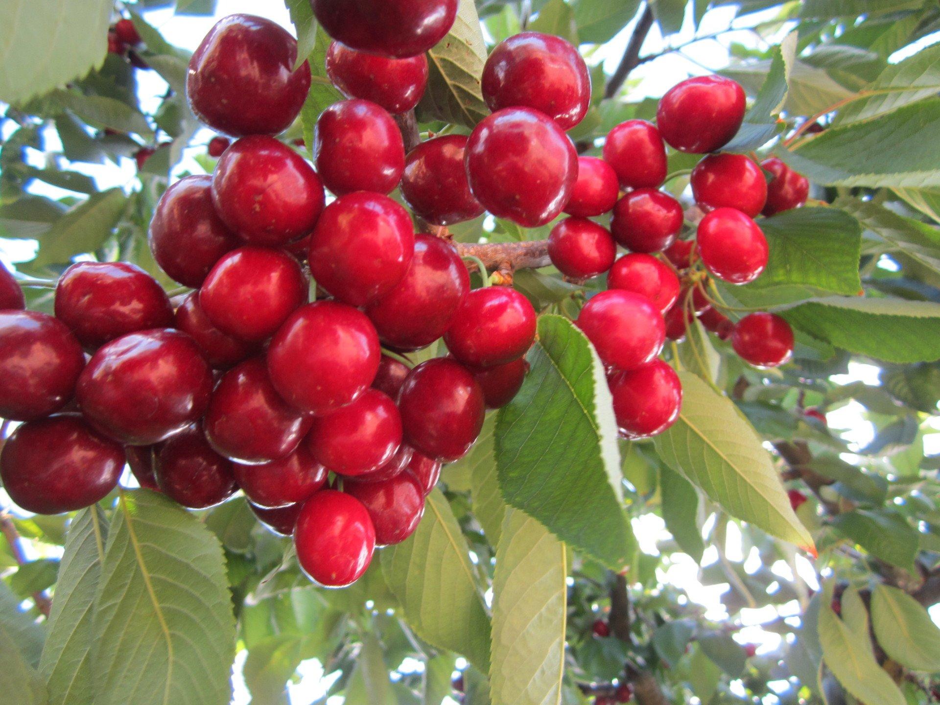 Immagini Di Piante E Alberi piante da frutto - vivai lello grasso | avellino